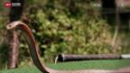 Video «Schlangen-Alarm in Pratteln» abspielen