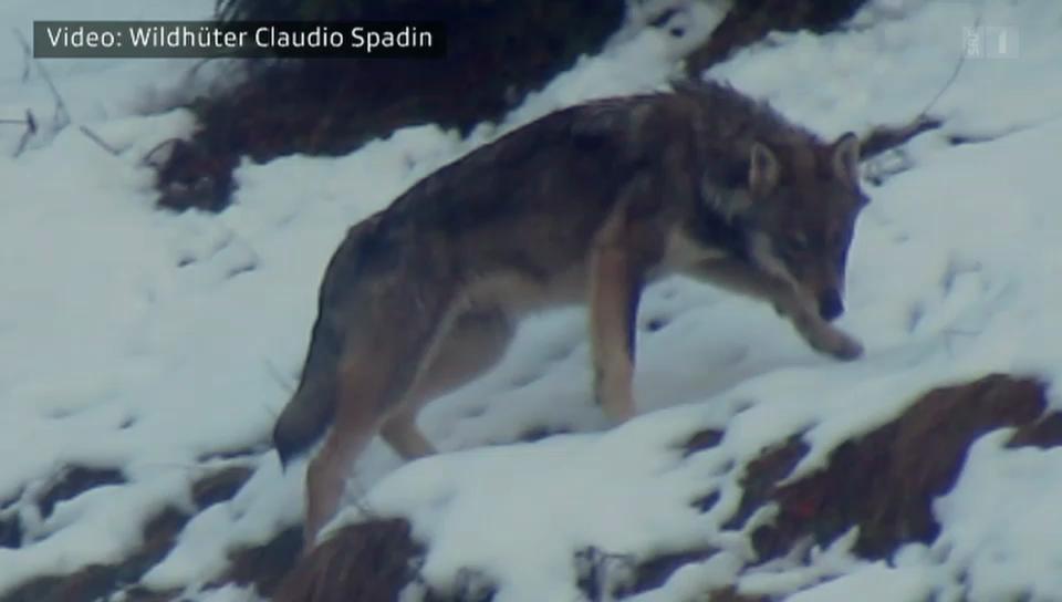 Aufregung wegen Wolfsrudel