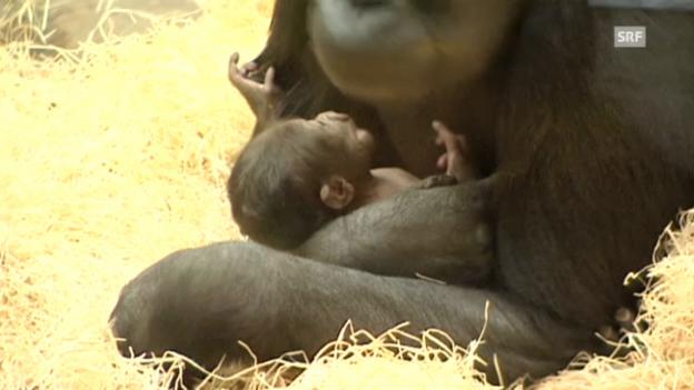 Video «Das Gorilla-Baby im Prager Zoo (unkommentiert)» abspielen