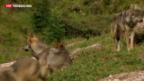 Video «Immer mehr Wölfe in der Schweiz» abspielen