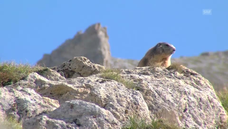 «Hüttengeschichten» 2013: Fauna im Schweizerischen Nationalpark