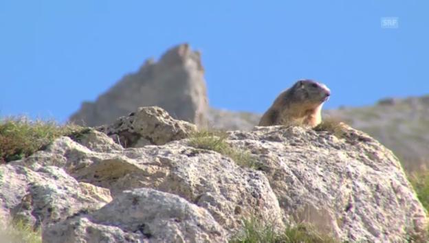 Video ««Hüttengeschichten» 2013: Fauna im Schweizerischen Nationalpark» abspielen