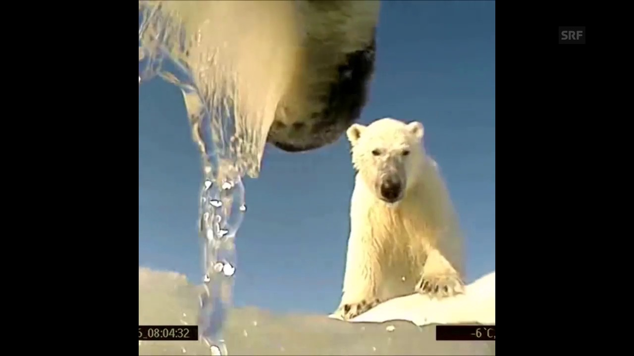 Viele Kalorien, weniger Eis: Eisbären leiden unter dem Klimawandel