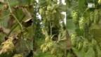 Video «Raubmilben retten Hopfenernte» abspielen