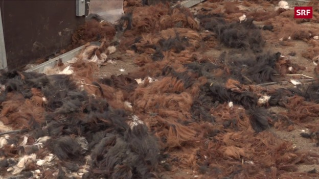 Video «Alpakas scheren in der Schweiz: Ein Ausnahmejob» abspielen