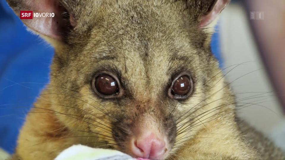 FOKUS: Buschbrände Australien – Tierarten vom Aussterben bedroht