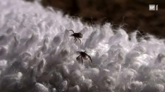 Video «Das Versuchskaninchen - Im Unterholz auf «Mission zeckenfrei!»» abspielen