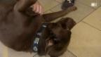 Video «Neue Hundekurse: Was bringt das Obligatorium?» abspielen