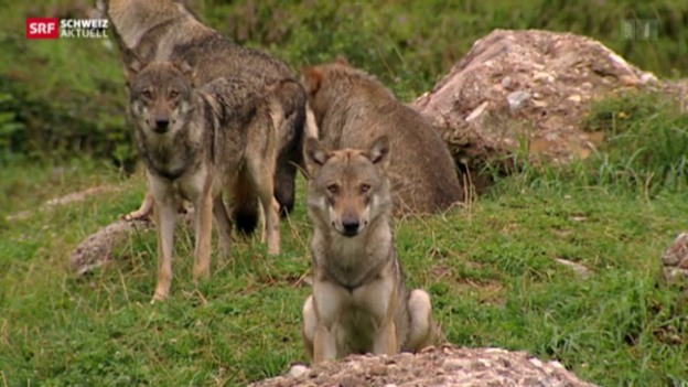 Video «Keine Wolfsfreien Zonen im Wallis» abspielen