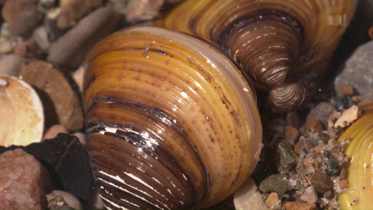 Muschel-Invasion aus Asien