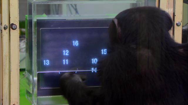Experiment mit einem Schimpansen