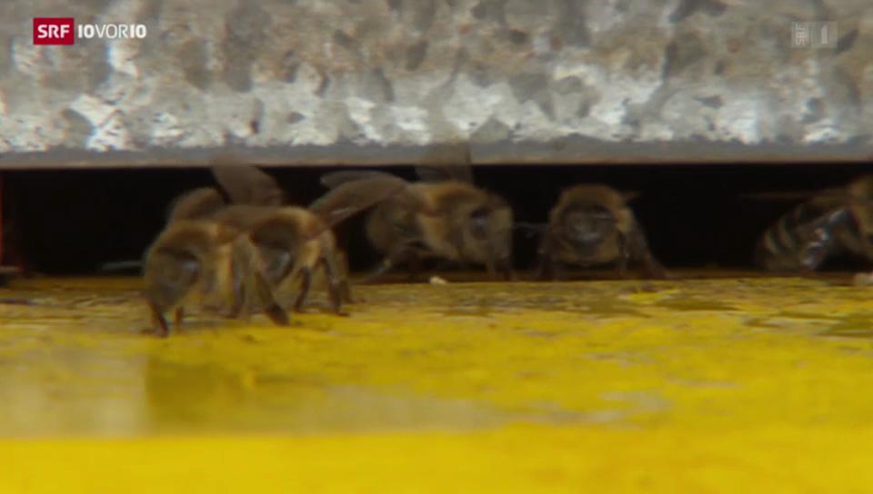 Wilde Honigbienen