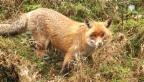 Video «Der Fuchs – dein geheimer Nachbar» abspielen