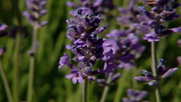 Video «Lavendel gegen Angst» abspielen