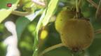 Video «Ein bisschen Dschungel im Tessin» abspielen