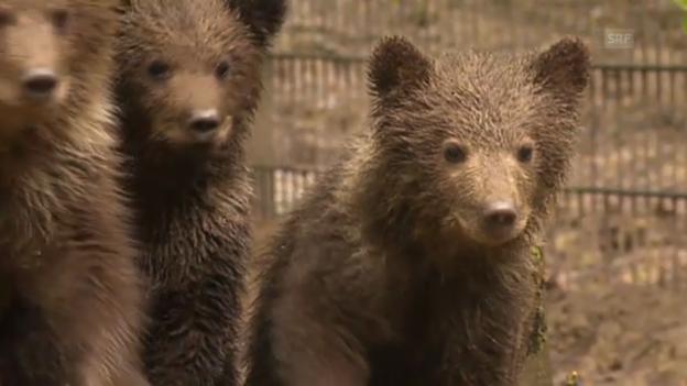 Video «Jungbären im Wildnispark Zürich (unkommentiert)» abspielen