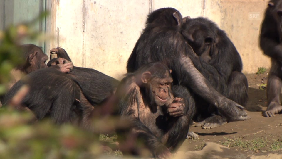 Schimpansen malen