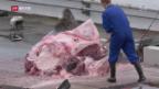 Video «FOKUS: Renaissance des Walfangs in Island» abspielen