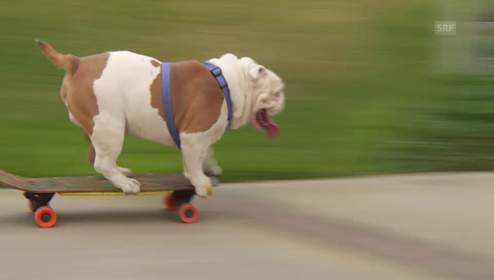 Überraschung im Park Miraflores: Bulldogge Otto