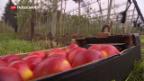 Video «Apfel für Apfel-Allergiker» abspielen