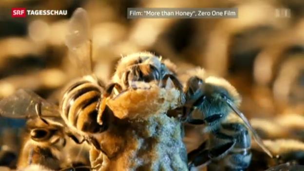 Video «Bienensterben: Sind Insekten-Gifte schuld?» abspielen