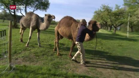 Video «Altersheim für Kamele» abspielen