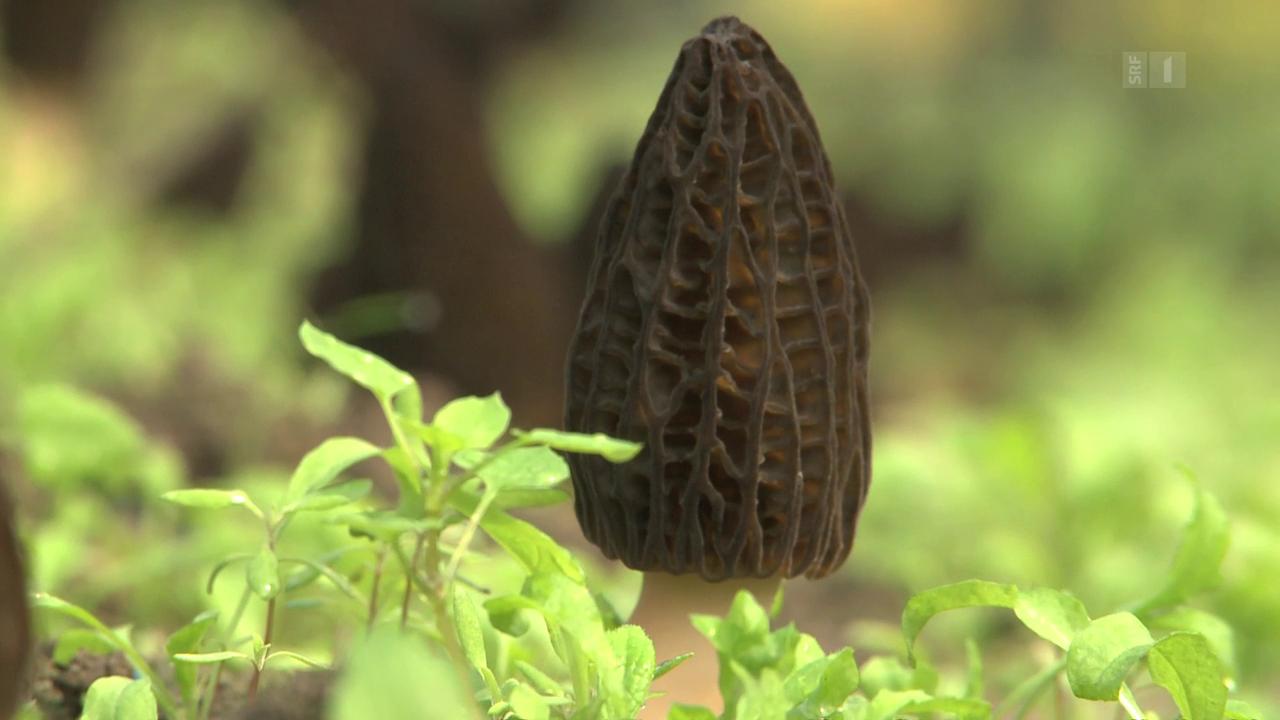 Getrocknete Morcheln im Test: Diese Pilze machen Bauchweh