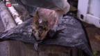 Video «Vogelgrippe am Bodensee» abspielen