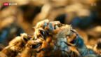 Video «Bienenschutz: EU verbietet drei Pestizide» abspielen