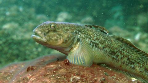 Fische: Grundeln und dunkle Tiefen (6/6)
