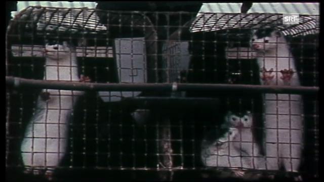 TV-Bilder aus Pelztierfarmen: «Kassensturz» vom 4.10.1982