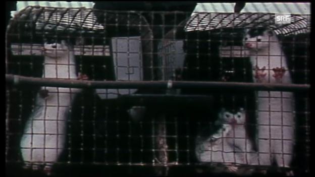 Video «TV-Bilder aus Pelztierfarmen: «Kassensturz» vom 4.10.1982» abspielen