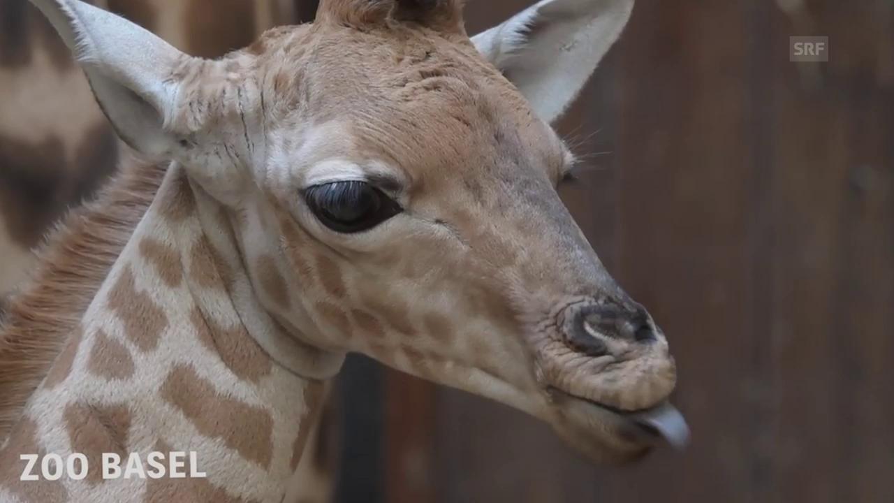 Jungtier bei den seltenen Kordofan-Giraffen