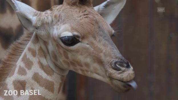 Video «Jungtier bei den seltenen Kordofan-Giraffen» abspielen