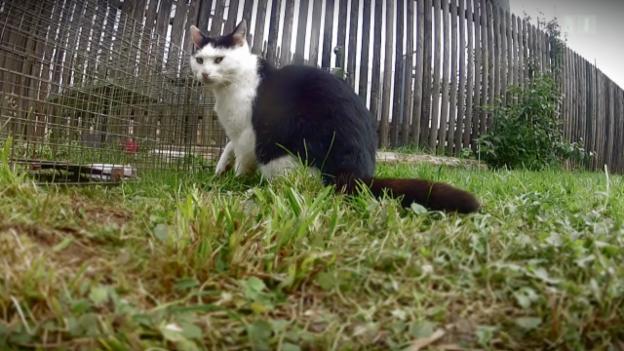 Video «Endloser Kampf gegen verwilderte Katzen» abspielen