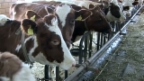 Video «Exportschlager: Kampf um jede Kuh» abspielen