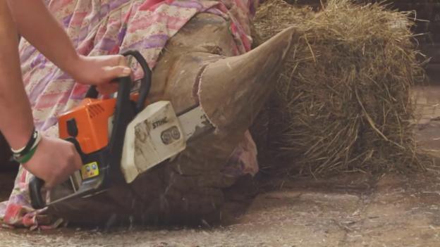 Video «Mit der Kettensäge: Zoo kürzt Nashörnern das Horn (unkommentiert)» abspielen