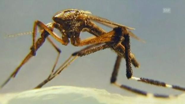 Video «Riesenstechmücken und ihre Larven (unkommentiert)» abspielen
