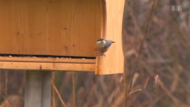 Video «Vogelfutter-Test: Gefährliche Ambrosia-Samen entdeckt» abspielen