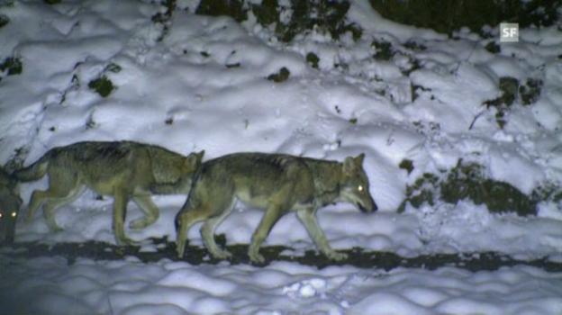 Video «NETZ NATUR «Wolf und Bär: Wer braucht Schutz vor wem?» (Hochdeutsch)» abspielen