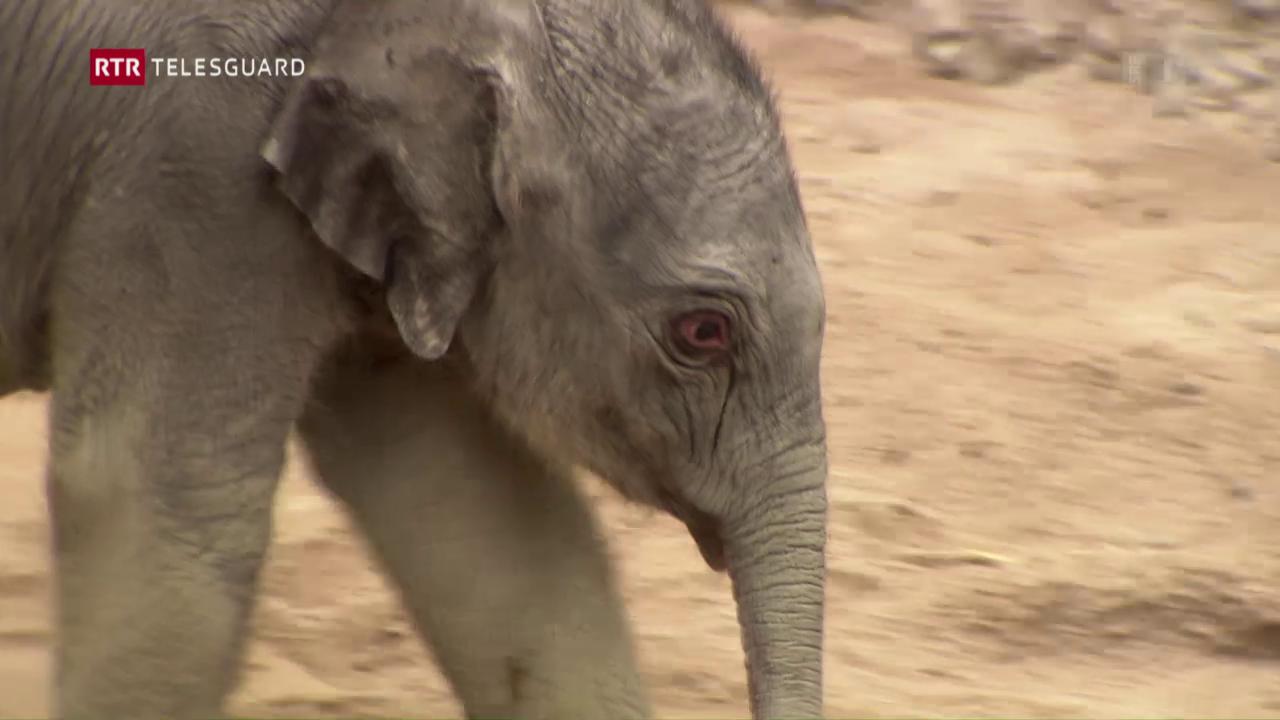 La pitschna elefanta dal zoo da Turitg