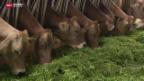 Video «Braucht eine richtige Kuh Hörner?» abspielen