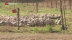 Video «Foie Gras und die Vogelgrippe» abspielen