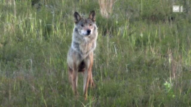 NETZ NATUR «Wer ist der Wolf»