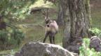 Video «Gämse – die Kletterkünstlerin» abspielen