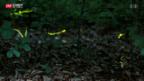 Video «Glühwürmchen-Mekka der Deutschschweiz» abspielen