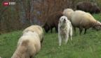 Video «Herdenschutzhunde sorgen für Lärmklagen» abspielen
