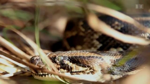 «Wanted dead or alive»: Der dunkle Tiger-Python