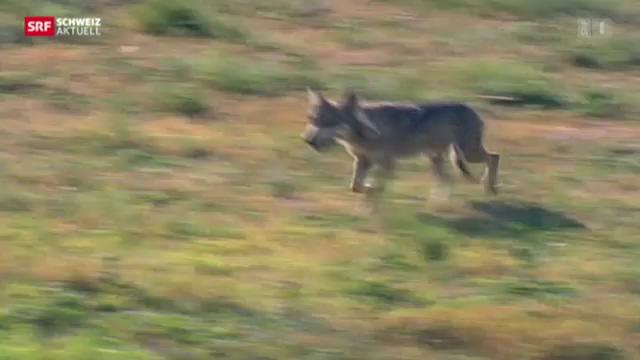 Walliser Regierung gibt Gommer Wolf zum Abschuss frei