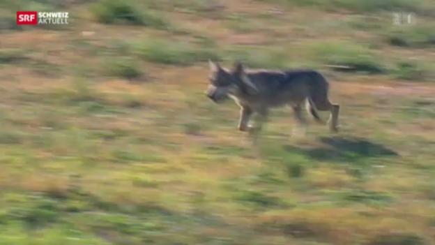 Video «Walliser Regierung gibt Gommer Wolf zum Abschuss frei» abspielen